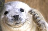 Seal-Pup-Header