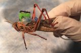 Locusts-for-Source-1200x600